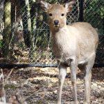 Bambi-daim-nara