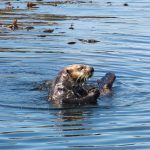 tofino-sea-otter-whale