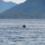 tofino-baleine-whale-center