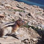 chipmunk-maligne-lake